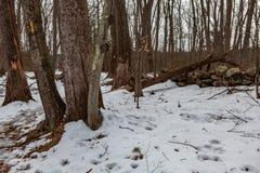 Acton, Vereinigte Staaten, am 27. Februar 2019 Wildes Holz unter der Show während der Winterzeit im grasartigen Teich-Naturschutz stockfotografie