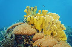 Actriz joven masiva y corales aplanados del fuego subacuáticos Imagen de archivo