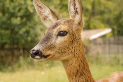 The actual doe close Royalty Free Stock Photo