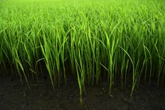 Green grass in the fertile soil. Actually this is rice plant stock photo