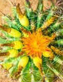 Сactus flower. Close up photo of orange cactus flower Stock Images