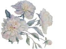 Acuarela blanca del espray de las peonías libre illustration