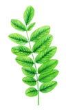 Acuarela con las hojas verdes imagen de archivo