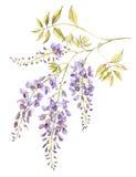 Acuarela de la floración de la glicinia Imágenes de archivo libres de regalías