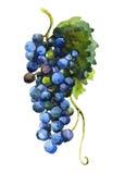 Acuarela de la uva Imagenes de archivo