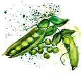 Acuarela de los guisantes verdes Imagenes de archivo
