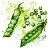 Acuarela de los guisantes verdes Imagen de archivo