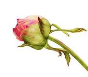 Acuarela del flor de la peonía ilustración del vector