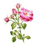 Acuarela rosada de las rosas stock de ilustración