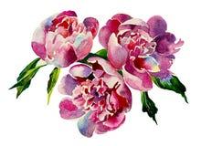 Acuarela rosada de tres peonías Imagen de archivo libre de regalías