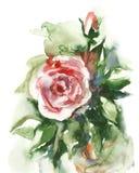 Acuarela - Rose- Fotos de archivo libres de regalías