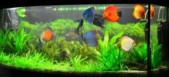 Acuario casero con los pescados y las plantas del disco Foto de archivo libre de regalías