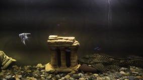 Acuario casero oscuro con los pescados Primer del acuario de agua dulce con los pescados y el siluro en fondo oscuro Acuario fuer metrajes