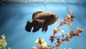 Acuario colorido Natación hermosa de los pescados en un acuario casero Nadadas adolescentes del ocellatus de Astronotus de los pe metrajes