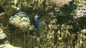 Acuario con los pescados coloridos, corales vivos almacen de video