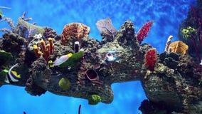 Acuario con los pescados coloridos, corales vivos metrajes