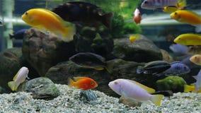Acuario con los pescados de Cichlid africanos coloreados multi metrajes