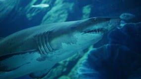 Acuario conmovedor de la muchacha de la mano donde el tiburón nada almacen de video