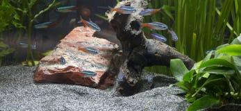 Acuario de agua dulce plantado Foto de archivo