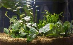 Acuario de agua dulce plantado tropical hermoso imagenes de archivo