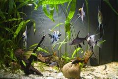 Acuario de agua dulce tropical Fotos de archivo libres de regalías