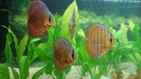 Acuario de los pescados del disco Foto de archivo libre de regalías