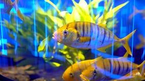 Acuario de los pescados en oceanarium Pescados hermosos que nadan en agua transparente del acuario El tanque colorido del acuario almacen de metraje de vídeo