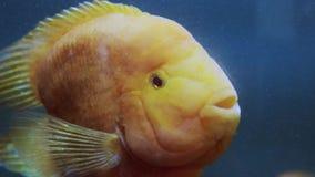 Acuario de los pescados nataci?n peligrosa de los pescados en acuario en oceanarium El tanque colorido llenado de las piedras, al almacen de metraje de vídeo