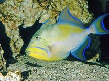 Acuario del triggerfish de reina Foto de archivo