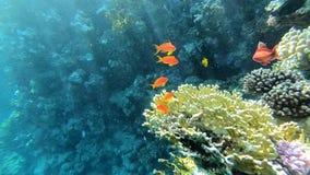 Acuario natural en el Mar Rojo, pescados coloridos cerca del arrecife de coral en el Mar Rojo almacen de metraje de vídeo