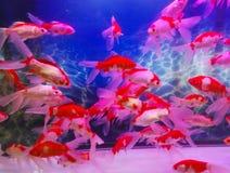 Acuario tropical casero del tanque de pescados fotos de archivo