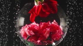 Acuario y rosa roja en el agua con las burbujas en fondo negro Rosa fresca en agua de las chispas Primer almacen de metraje de vídeo