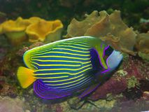 Acuarium fish. Beautiful exotic multicolored fish among the corals in the tropical sea Royalty Free Stock Photography