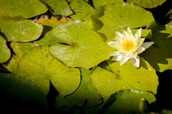 Acuatic植物 免版税图库摄影