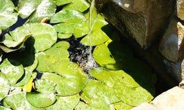 Acuatic Anlagen des Bewässerungswassers arbeitet Mosen Cinto Verdaguer im Garten Lizenzfreie Stockbilder