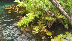 Aquatic plants in sacred cenote of the Riviera Maya. Acuatic plants in cenote stock image