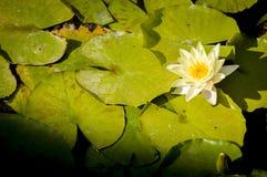 Acuatic plants Royalty Free Stock Photography
