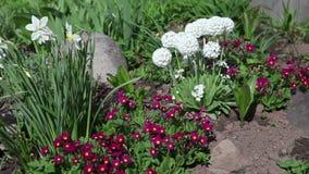Acueste con las primeras flores de la primavera - narciso, primavera, cebollas decorativas almacen de video
