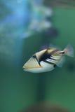 aculeatus毕加索rhinecanthus引金鱼 免版税库存图片