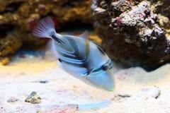 Aculeatus Rhinecanthus Ψάρια Aquarian Στοκ φωτογραφία με δικαίωμα ελεύθερης χρήσης