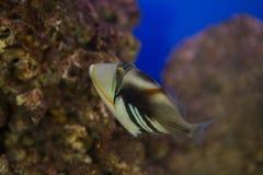 Aculeatus Rhinecanthus triggerfish лагуны, также известное как triggerfish Пикассо стоковое фото rf