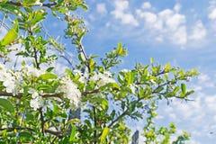 Aculeatus Ruscus Στοκ Εικόνες