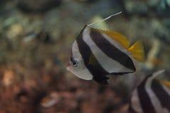 Acuminatus de Heniochus de los Butterflyfish del banderín Imagenes de archivo