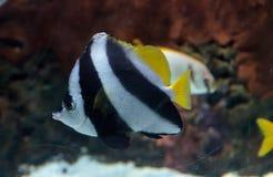 Acuminatus de Heniochus dos Butterflyfish da flâmula Fotos de Stock