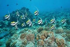 Acuminatus de Heniochus dos coralfish da flâmula dos peixes Imagem de Stock