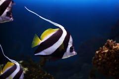 Acuminatus de Heniochus, peixe tropical Fotos de Stock Royalty Free