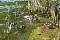Acumule con el pato de la mamá de los patos con los anadones, aves acuáticas imagen de archivo libre de regalías