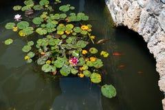 Acumule con las carpas y los cojines de lirio, flores del koi de loto Imagen de archivo libre de regalías