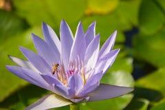 Acumule con las plantas y las flores de los lirios de agua con la rana y la abeja - Isola Bella - Stresa Fotos de archivo libres de regalías