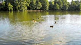 Acumule con muchos patos que nadan en un agua almacen de video